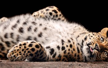 Tier - Leopard Wallpapers and Backgrounds ID : 118032