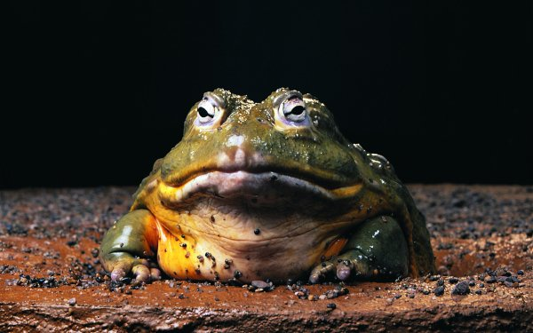 Animal Bullfrog Frog African Bullfrog HD Wallpaper | Background Image
