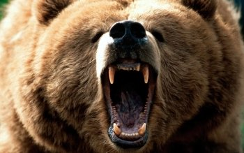 Animal - Bear Wallpapers and Backgrounds ID : 123660