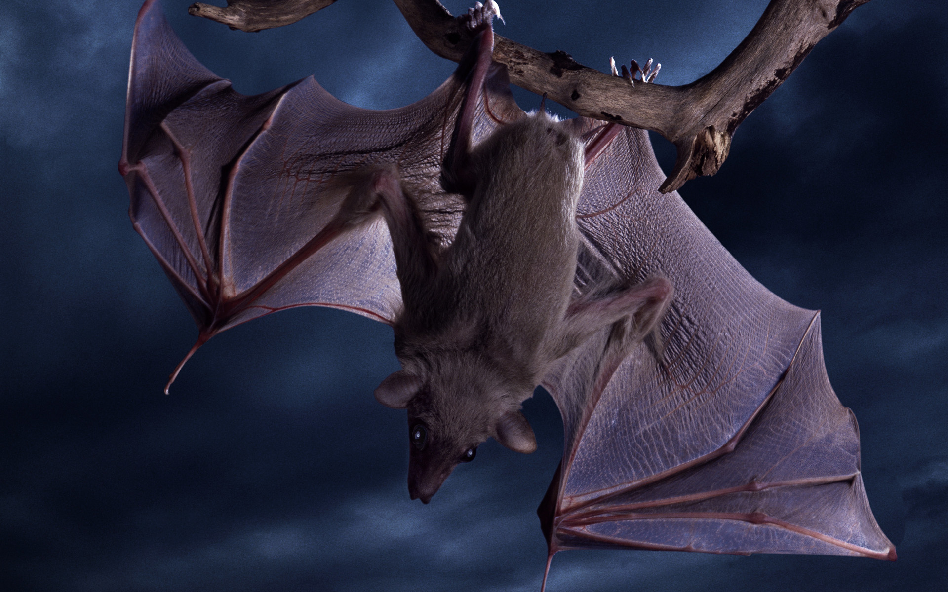 Bat Full Hd Wallpaper And Background Image 1920x1200 HD Wallpapers Download Free Images Wallpaper [1000image.com]