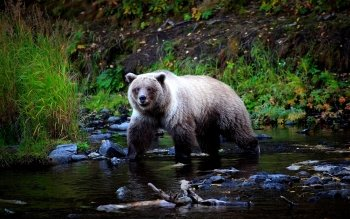 Animal - Bear Wallpapers and Backgrounds ID : 124752