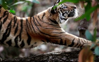 Animal - Tiger Wallpapers and Backgrounds ID : 124992