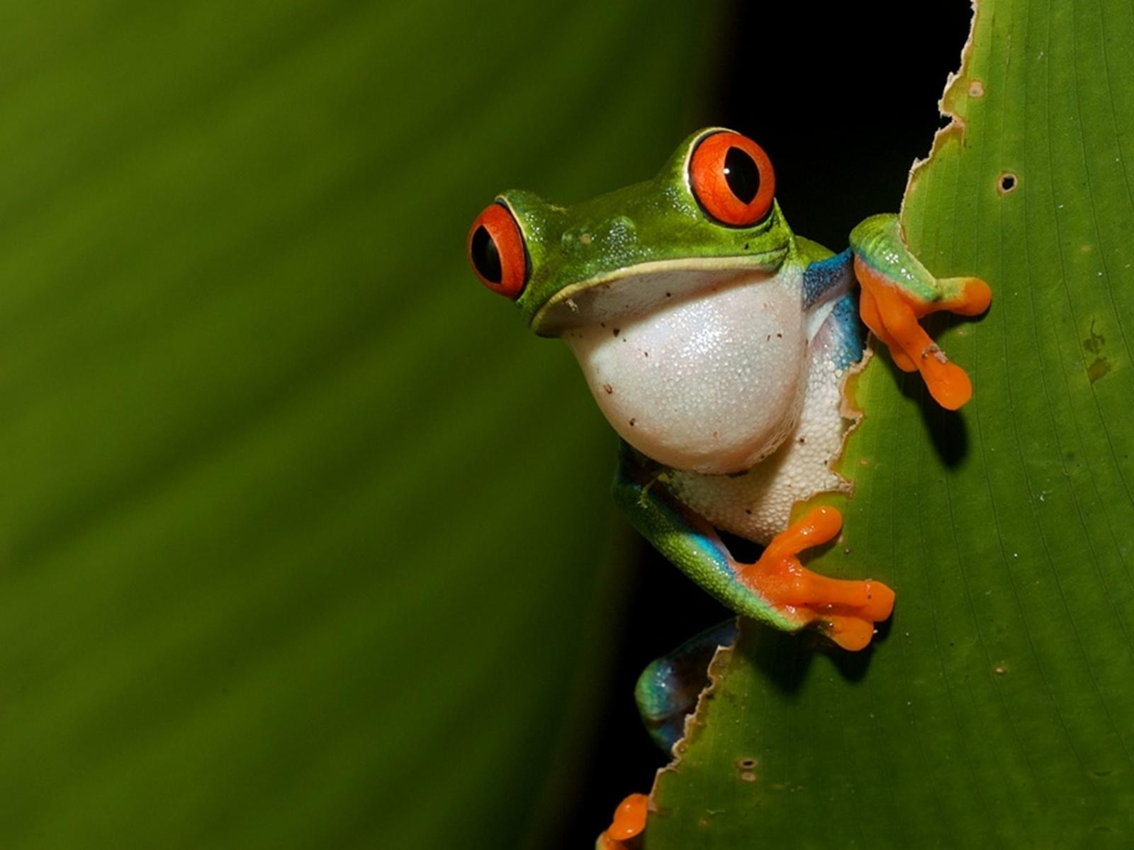 Animal - Red Eyed Tree Frog  Wallpaper