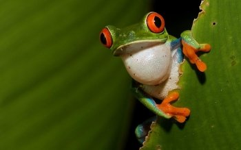 Animal - Red Eyed Tree Frog Wallpapers and Backgrounds ID : 128000