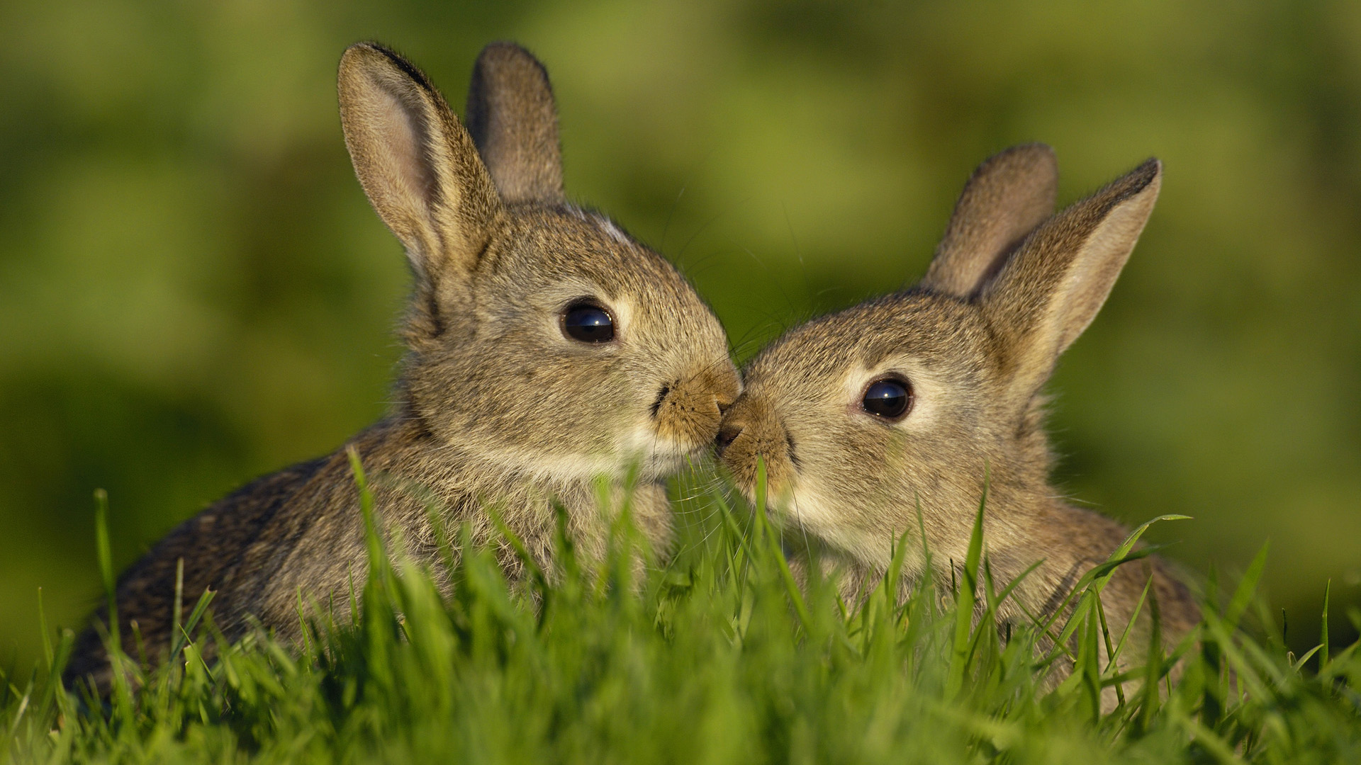 Animals Hd Wallpapers 2015 Funny Kissing Hugging Baby: Hase HD Wallpaper
