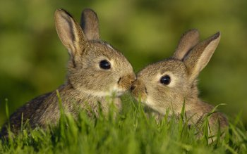 Animal - Rabbit Wallpapers and Backgrounds ID : 136410