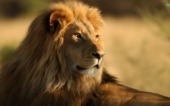 Animal - Lion Wallpapers and Backgrounds ID : 143012