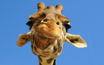 Animal - Giraffe Wallpapers and Backgrounds ID : 144322