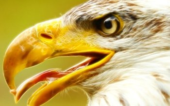 Animal - Eagle Wallpapers and Backgrounds ID : 145360