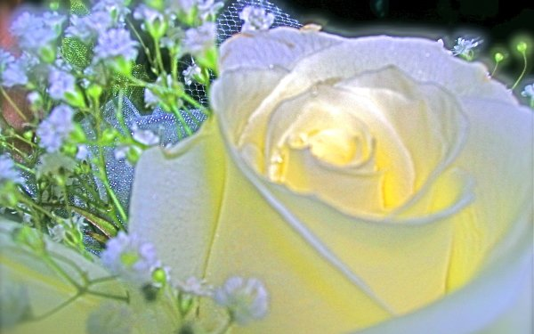 Earth Rose Flowers Flower HD Wallpaper   Background Image