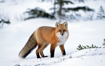 Animal - Fox Wallpapers and Backgrounds ID : 149272