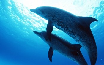 Animal - Dolphin Wallpapers and Backgrounds ID : 153010