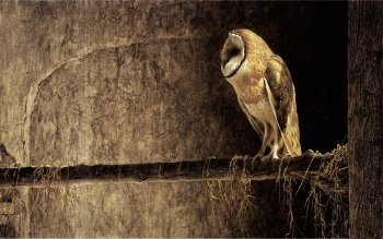 Animal - Owl Wallpapers and Backgrounds ID : 155132
