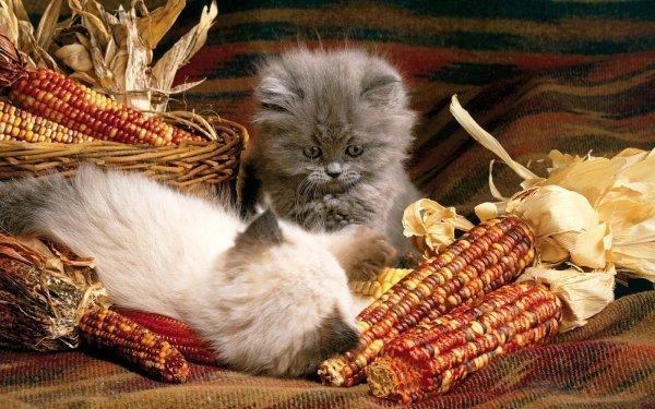 Animal Cat Cats Corn Fruit Cute HD Wallpaper | Background Image