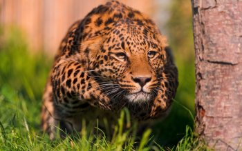 Tier - Leopard Wallpapers and Backgrounds ID : 160672