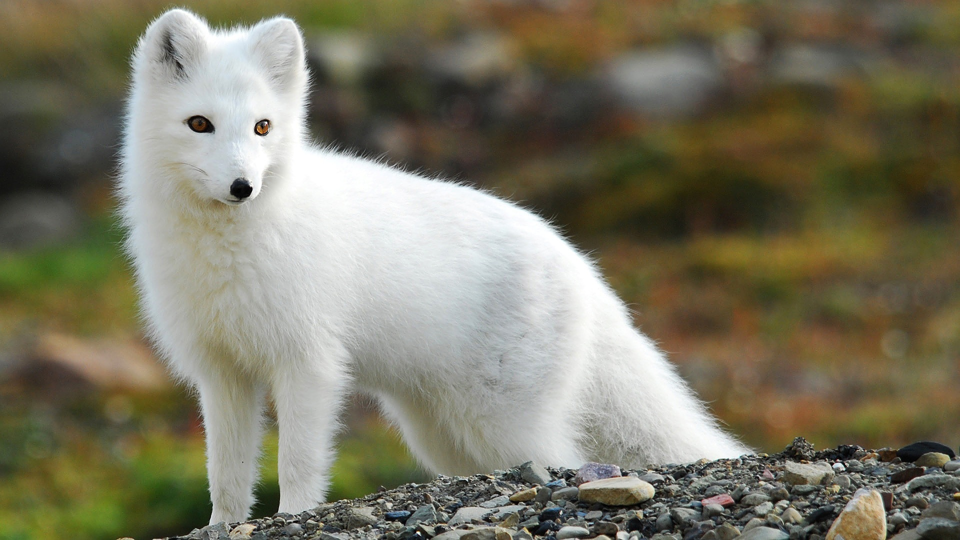45 Arctic Fox HD Wallpapers | Backgrounds - Wallpaper Abyss