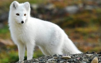 Animal - Arctic Fox Wallpapers and Backgrounds ID : 163712