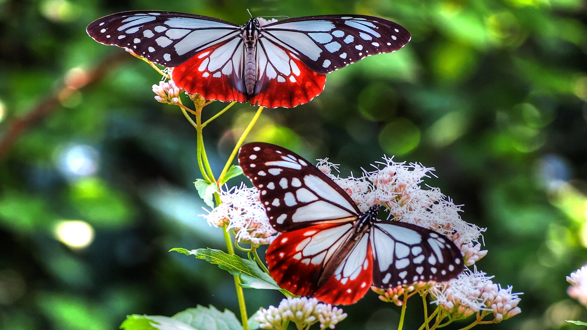 Butterfly Full HD Wallpaper and Background | 1920x1080 ...