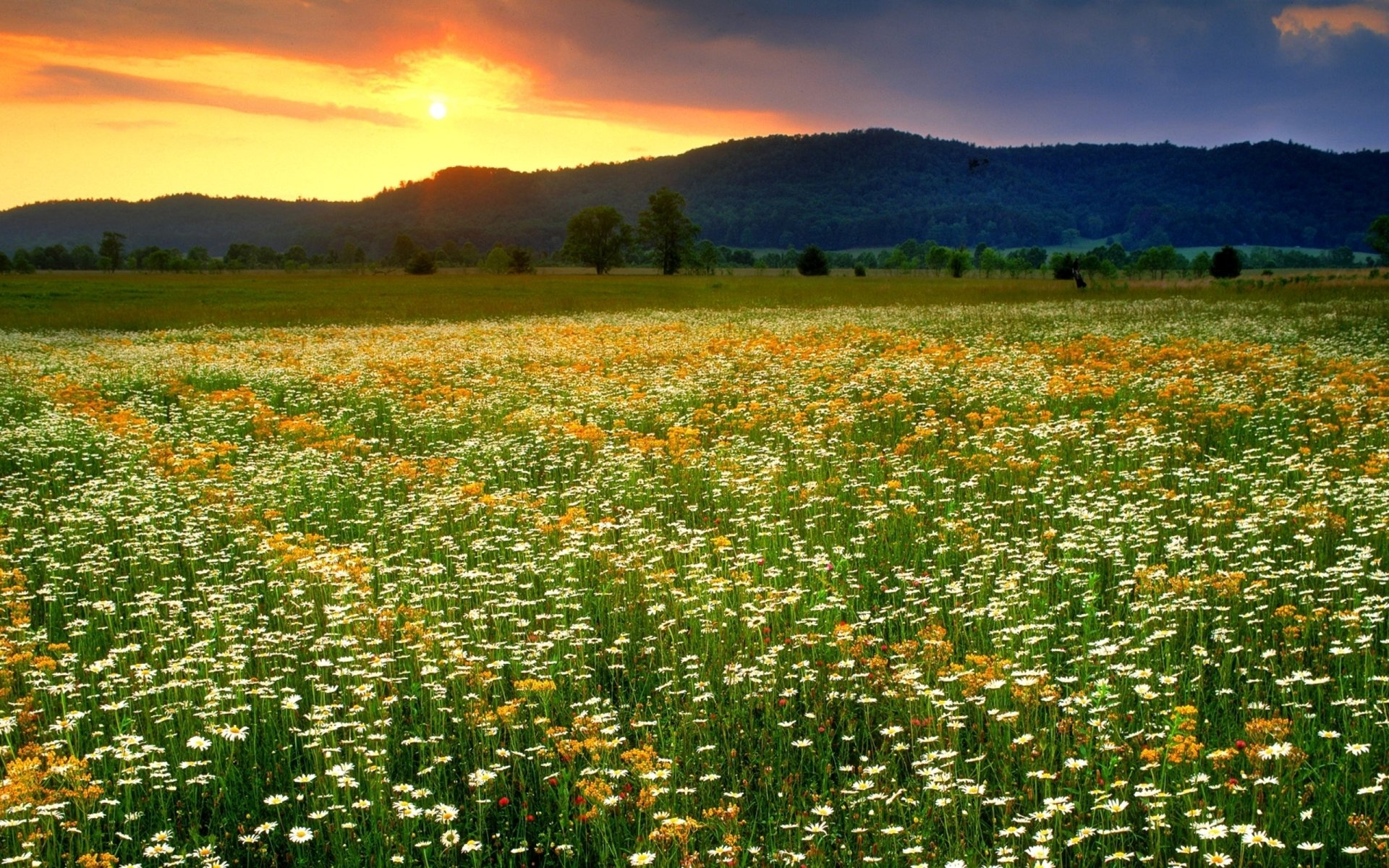 Earth - Field  Earth Flower Daisy Dandelion Grass Spring Wallpaper