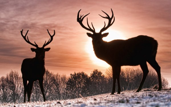 Animal Deer Dear HD Wallpaper   Background Image