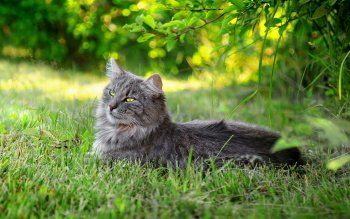 Animal - Cat Wallpapers and Backgrounds ID : 173552