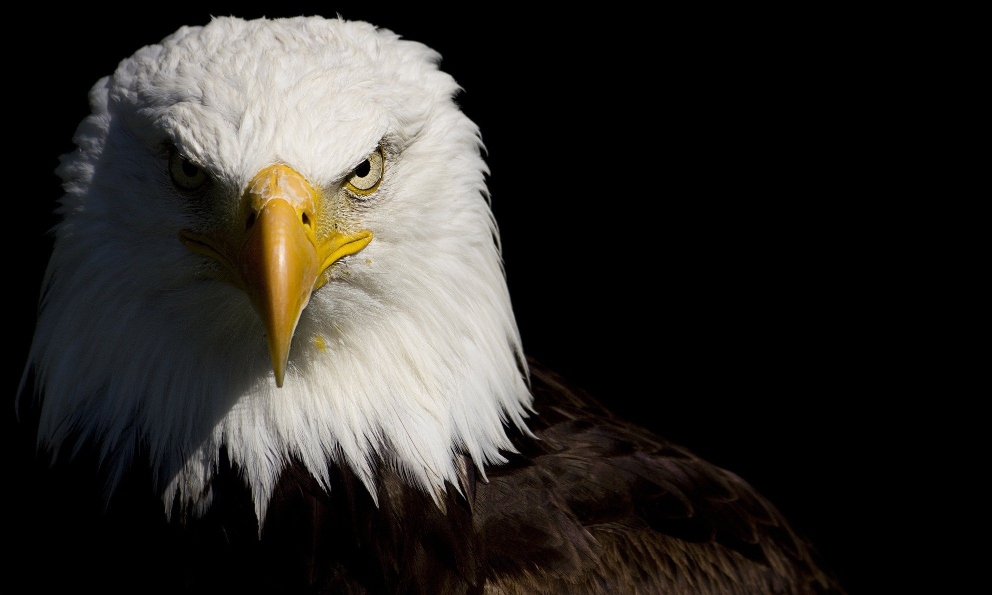 Bald Eagle Full HD Wallpaper and Background Image ...