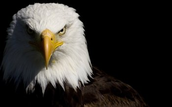 Animal - Eagle Wallpapers and Backgrounds ID : 175690