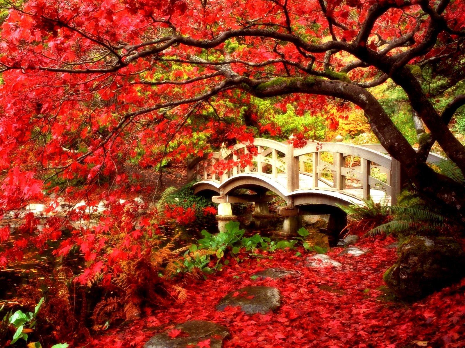 Man Made - Bridge  Artistic Leaf Maple Tree Tree Canada British Columbia Fall Garden Japanese Garden Foliage Red Wallpaper