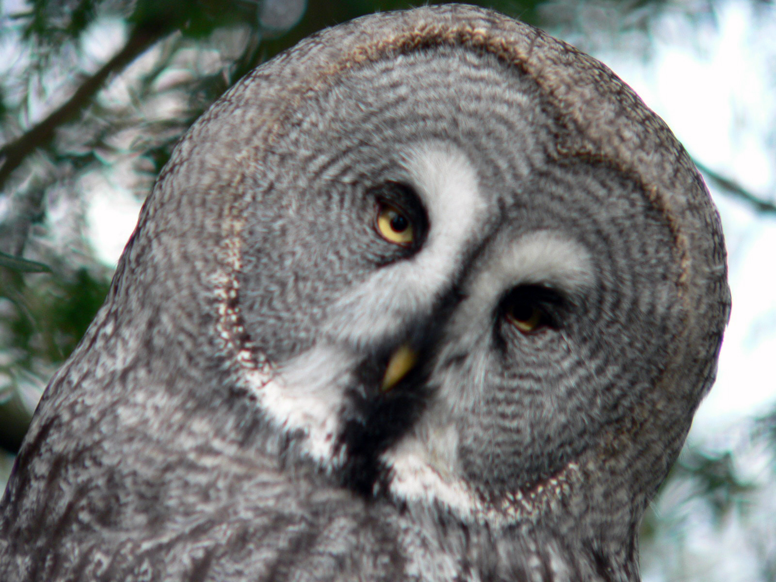 Great grey owl Wallpaper and Background Image | 1600x1200 ...