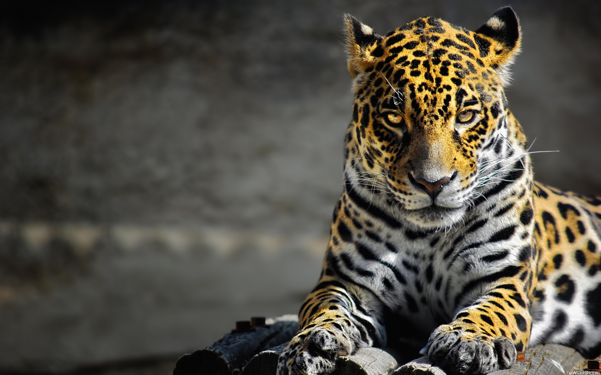 Lazy leopard full hd wallpaper and hintergrund 1920x1200 - Jaguar animal hd wallpapers ...