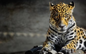 Animalia - Leopard Wallpapers and Backgrounds ID : 184990