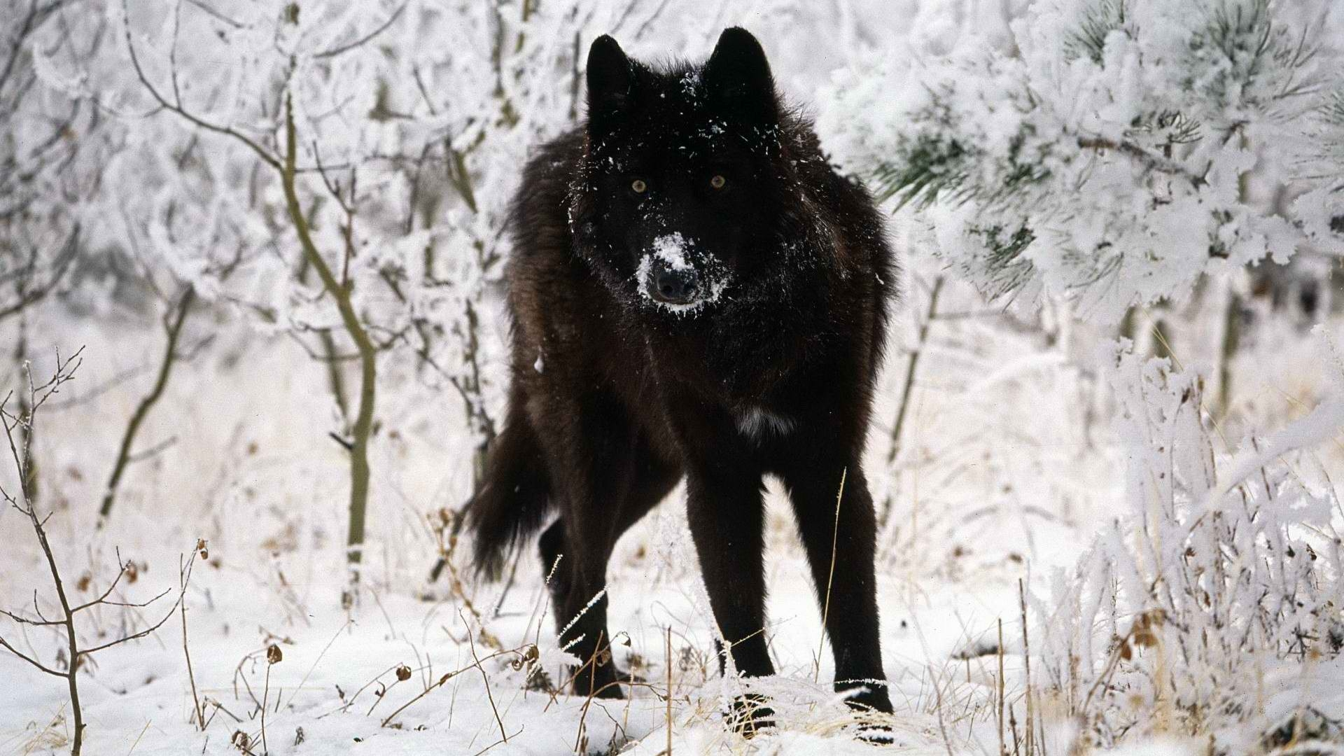 Black wolf HD Wallpaper | Background Image | 1920x1080 ...