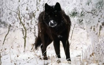 Animal - Wolf Wallpapers and Backgrounds ID : 186172