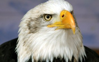 Animal - Eagle Wallpapers and Backgrounds ID : 189282