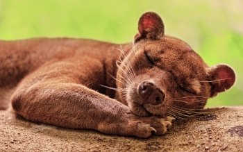 Animal - Fossa Wallpapers and Backgrounds ID : 190720
