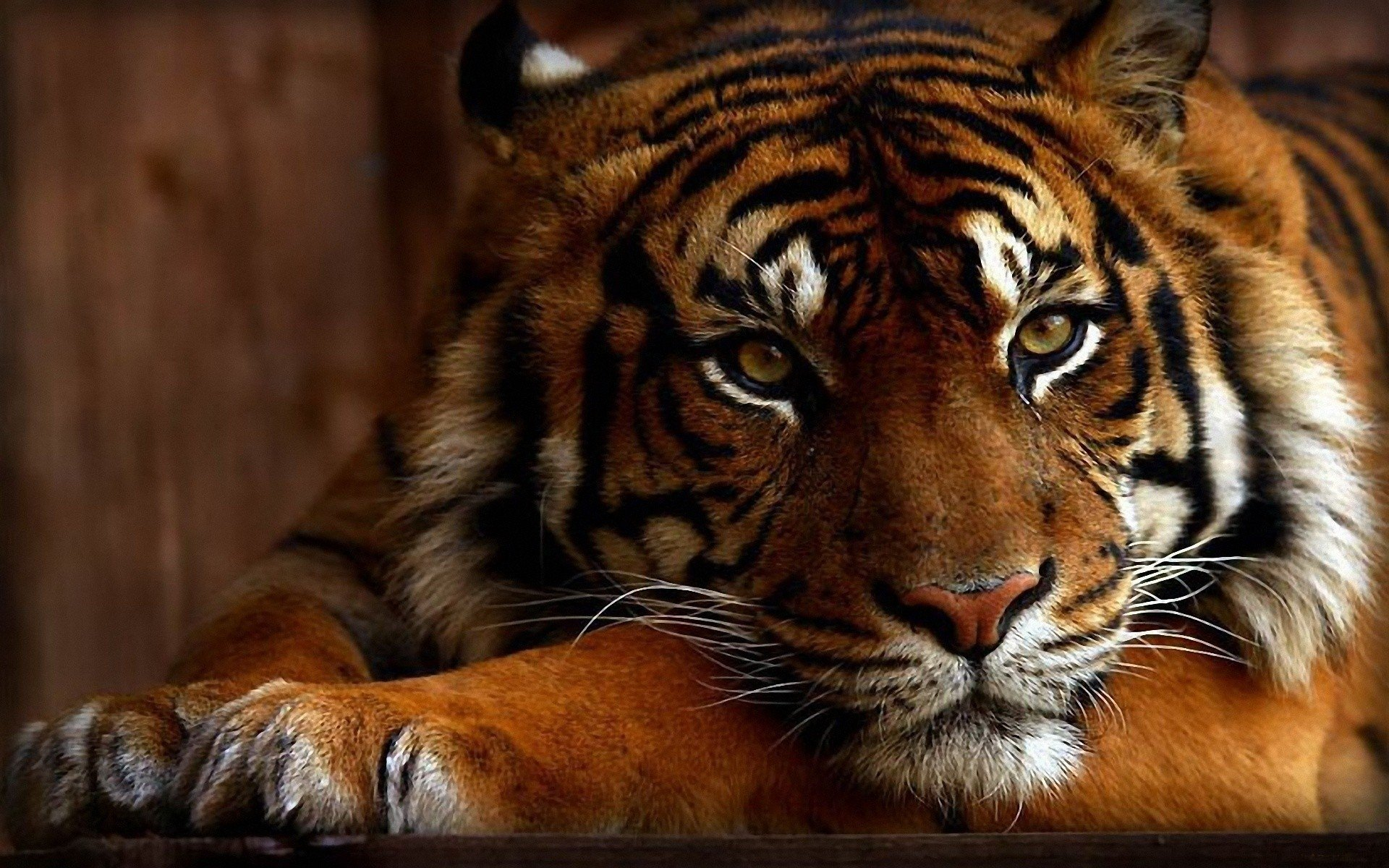 Animal - Tiger  Wallpaper