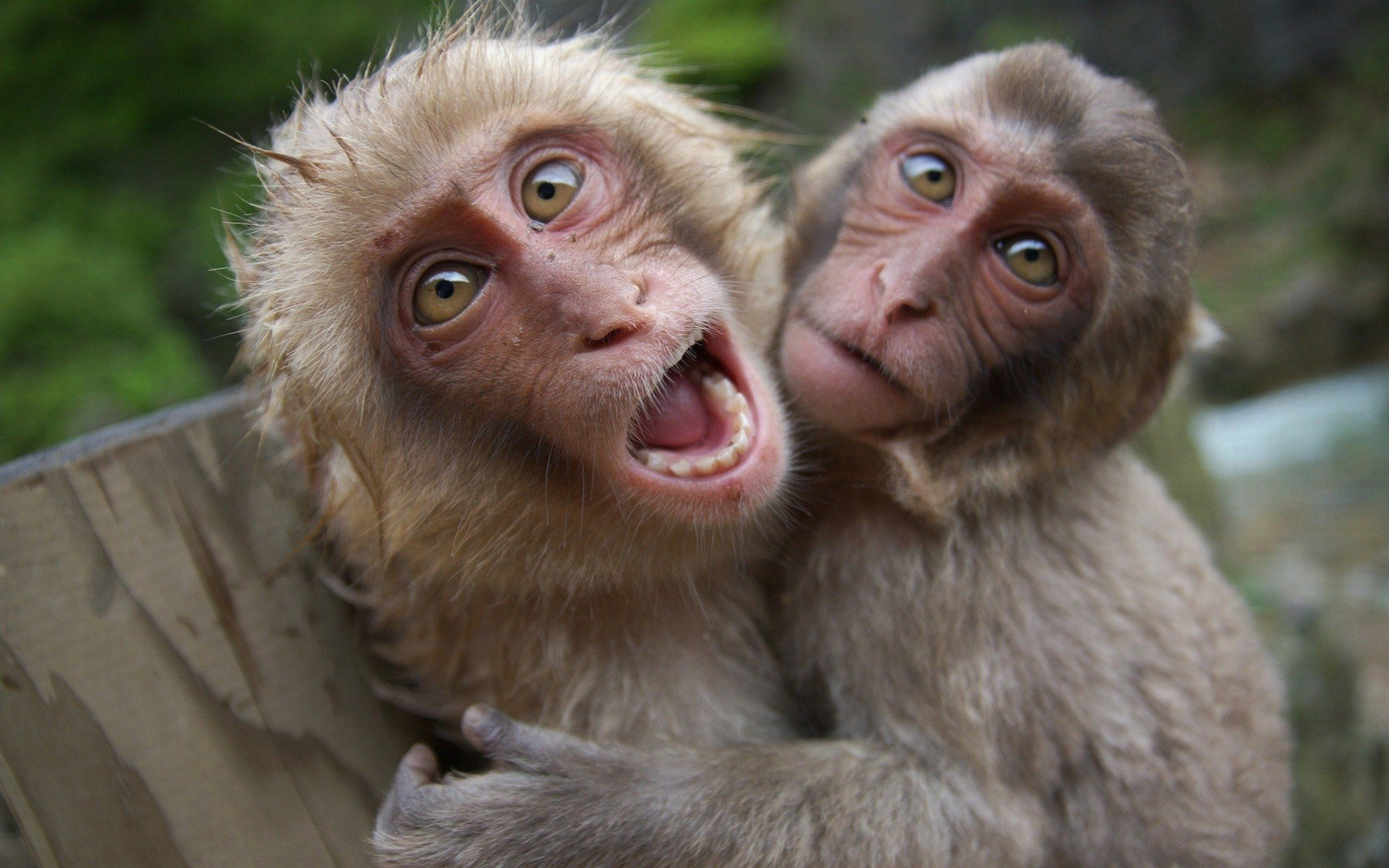 Animal - Japanese Macaque  Monkey Wallpaper