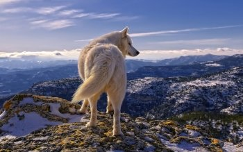 Animal - Wolf Wallpapers and Backgrounds ID : 198130