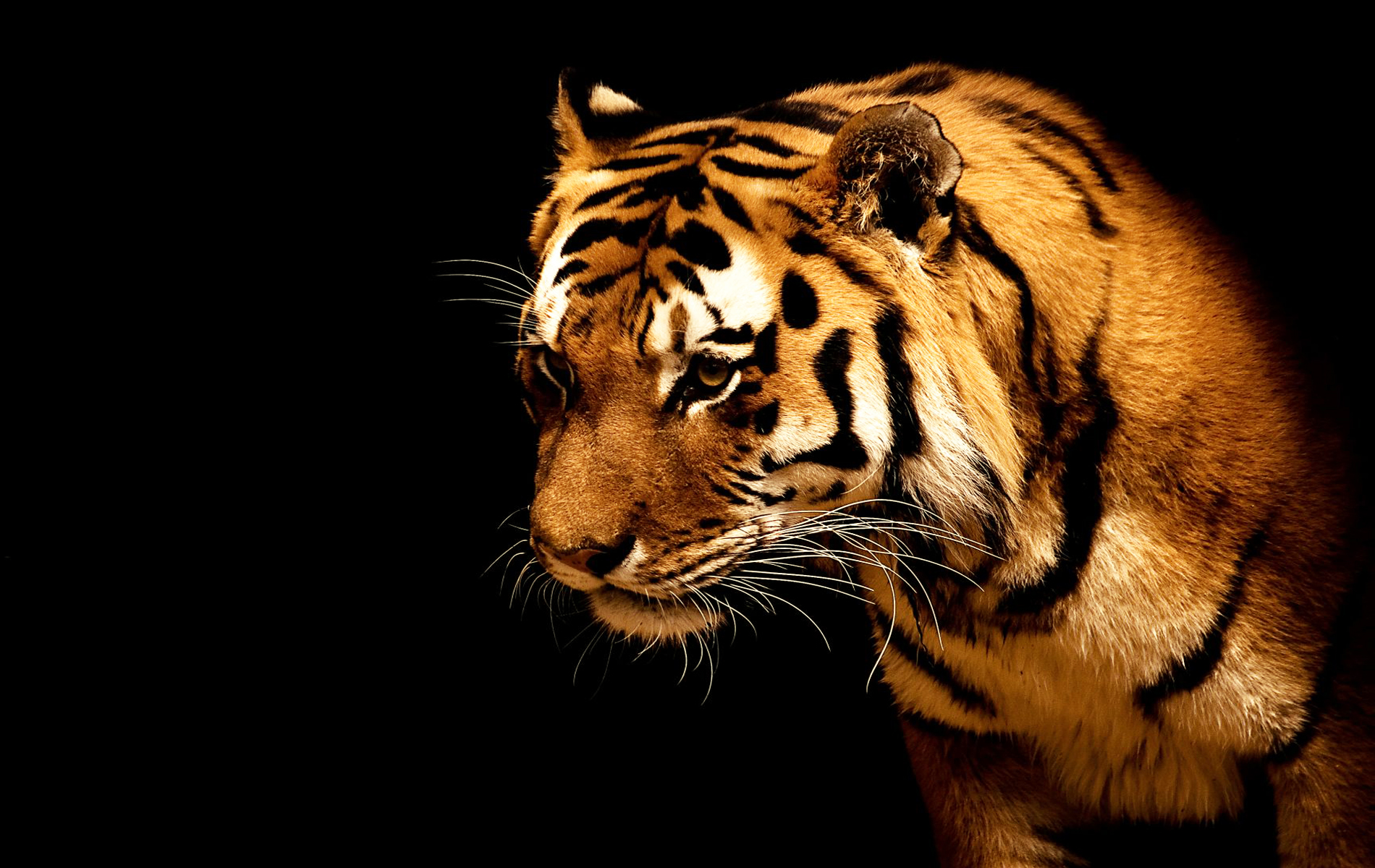 tiger wallpaper and background image | 1900x1200 | id:200522
