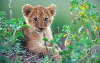 Animal - Lion Wallpapers and Backgrounds ID : 206732