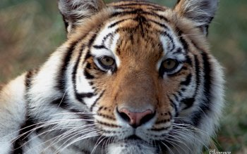 Animal - Tiger Wallpapers and Backgrounds ID : 20750