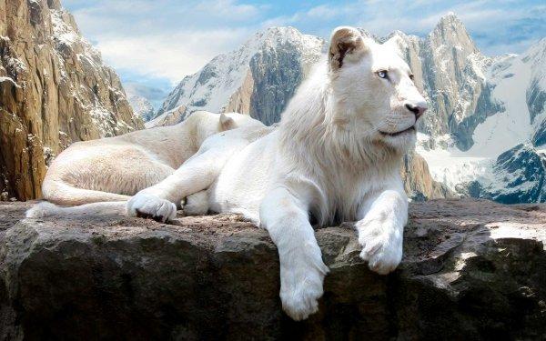 Animal White Lion Lion HD Wallpaper | Background Image