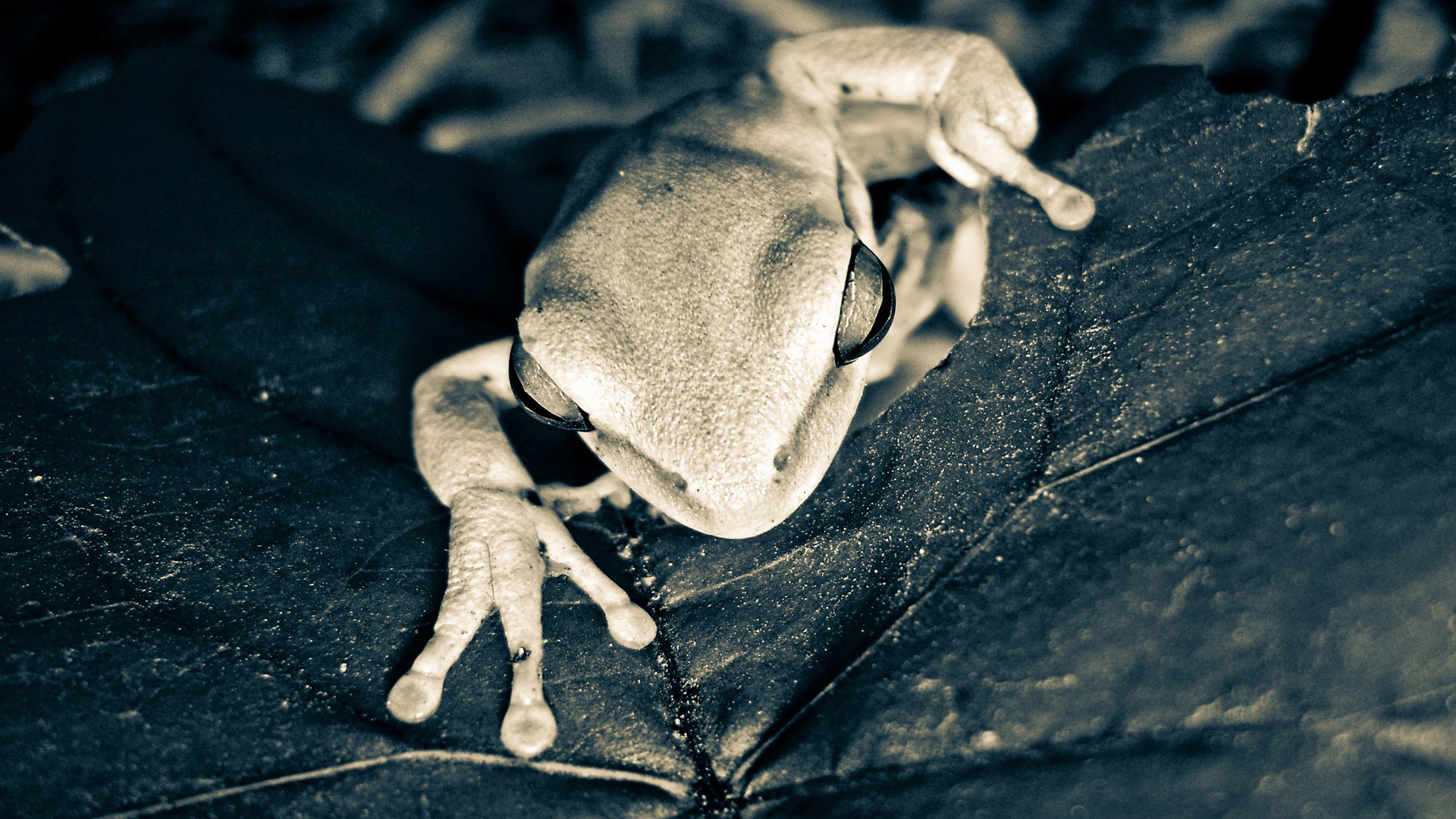 Animal - Tree Frog Wallpaper