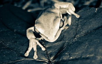 Animal - Tree Frog Wallpapers and Backgrounds ID : 209542