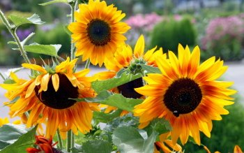 Earth - Sunflower Wallpapers and Backgrounds ID : 212300