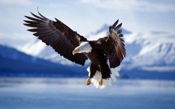 Animal - Eagle Wallpapers and Backgrounds ID : 213832