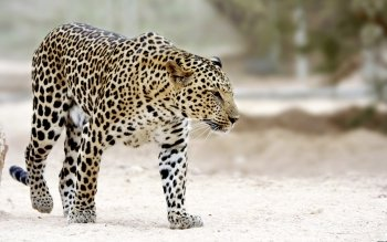 Animalia - Leopard Wallpapers and Backgrounds ID : 215362