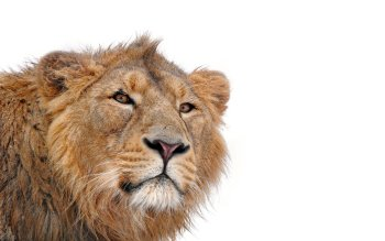 Dierenrijk - Lion Wallpapers and Backgrounds ID : 218600