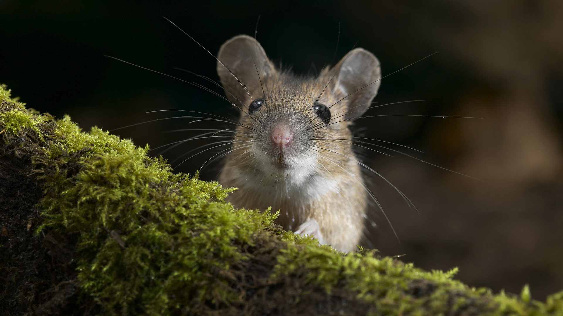 Mouse Full HD Wallpaper And Background Image