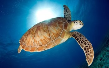 Animal - Turtle Wallpapers and Backgrounds ID : 222132